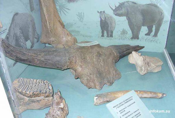Часть черепа с рогами ископаемого бизона в коллекции Камышинского историко-краеведческого музея