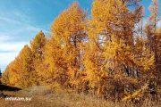 Посадки лиственница в камышинском лесопитомнике ВНИАЛМИ