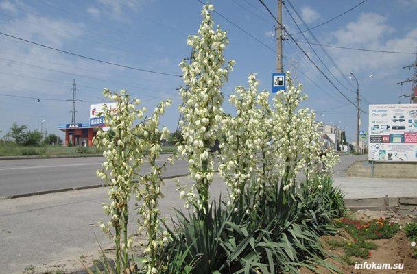 Камышин. Цветет юкка