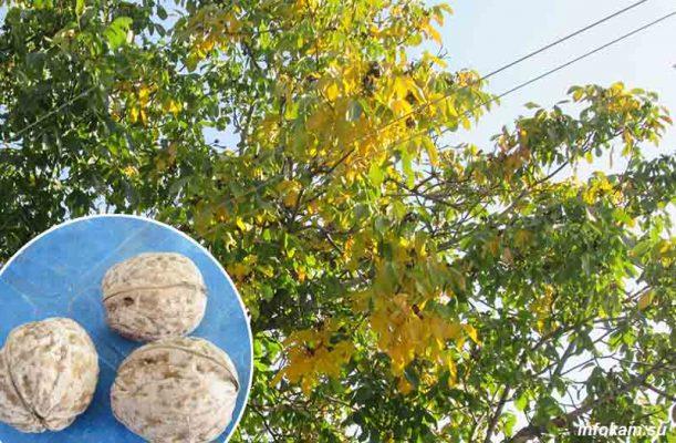 Грецкий орех на камышинской земле