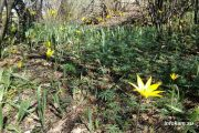 Камышин. Цветет тюльпан Биберштейна