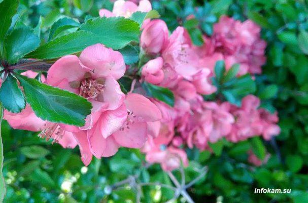 Камышин. Цветет айва японская