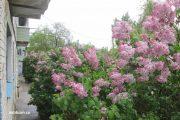 Камышин. Цветет сирень (10 мая 2021 год)