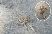 Камышин. Сольпуга (или верблюжий паук)