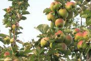 До камышинских яблок еще далеко