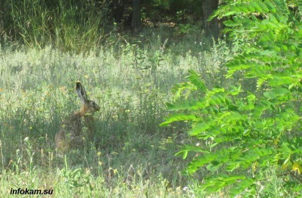 Заяц-русак - гость, посетивший окраину пятого микрорайона