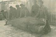 Белуга, выловленная колхозниками под Астраханью (Астраханский государственный историко-архитектурный музей-заповедник)
