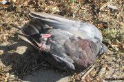 Мертвую птицу трогать нельзя