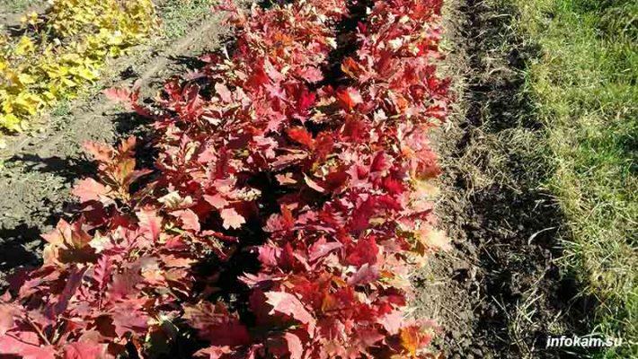 Сеянцы дуба красного в открытом грунте