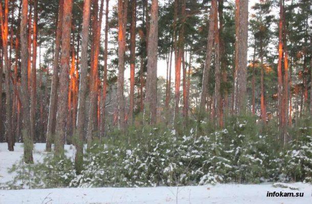Все сосняки в Волгоградской области посажены людьми