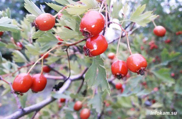 Боярышник, умытый грозой