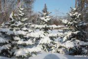 Ели в камышинском лесопитомнике ВНИАЛМИ