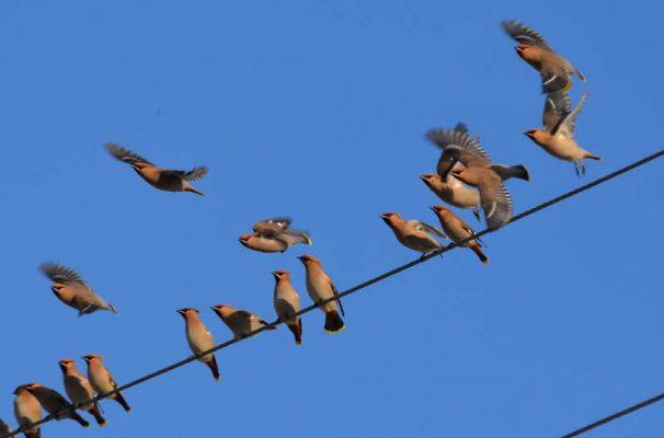 Свиристели в Камышине (фото Юлии Карпенко)