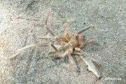 Сольпуга (верблюжий паук) на Волге (Камышин)