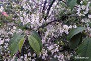 Камышин. Цветет черёмуха у офиса Сбера в 5 микрорайоне