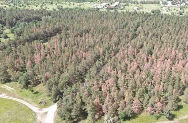 Усыхает часть  сосновой посадки полувекового возраста (филиал ФБУ «Рослесозащита» «Центра защиты леса Волгоградской области»)