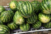 Камышин. Местная традиция: чтобы не продавать арбузы с земли, их продают с раскладушек