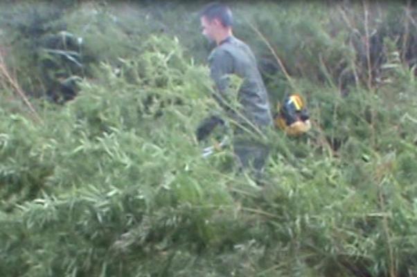 Уничтожение конопли (МО МВД России «Камышинский»)