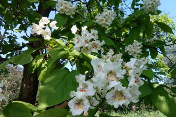 Цветет катальпа прекрасная
