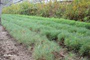 Сеянцы сосны в камышинском лесопитомнике ВНИАЛМИ