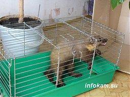 Камышин. Пойманный зверь в кабинете директора РЭПа